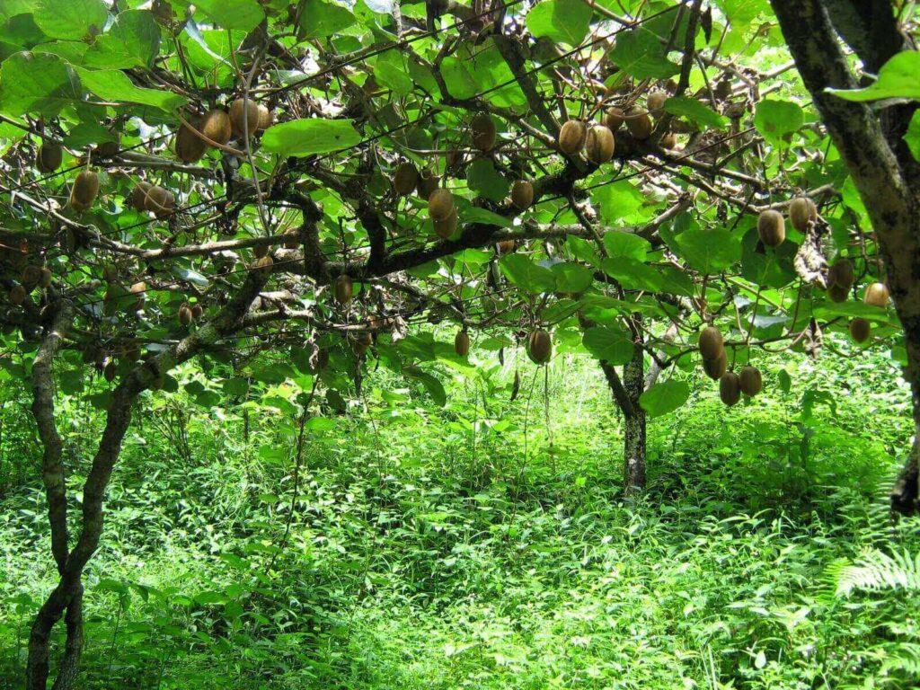 Ακτινίδιο: Ένα φρούτο εξαιρετικά κερδοφόρο