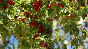 Ξεχασμένες καλλιέργειες κρανιάς και αρώνιας που υπόσχονται πολλά