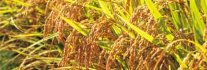 Ημερίδα για την καλλιέργεια του ρυζιού