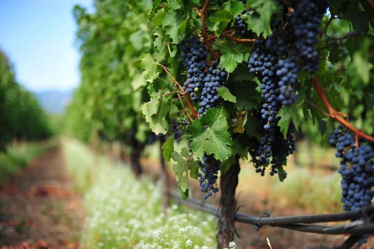 Ελληνικό κρασί: Εξαιρετική ποιότητα, μικρή παραγωγή για το 2017